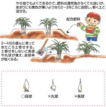 らっきょう の 植え 方